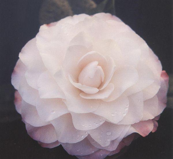 Cam. jap. Nuccio's perl
